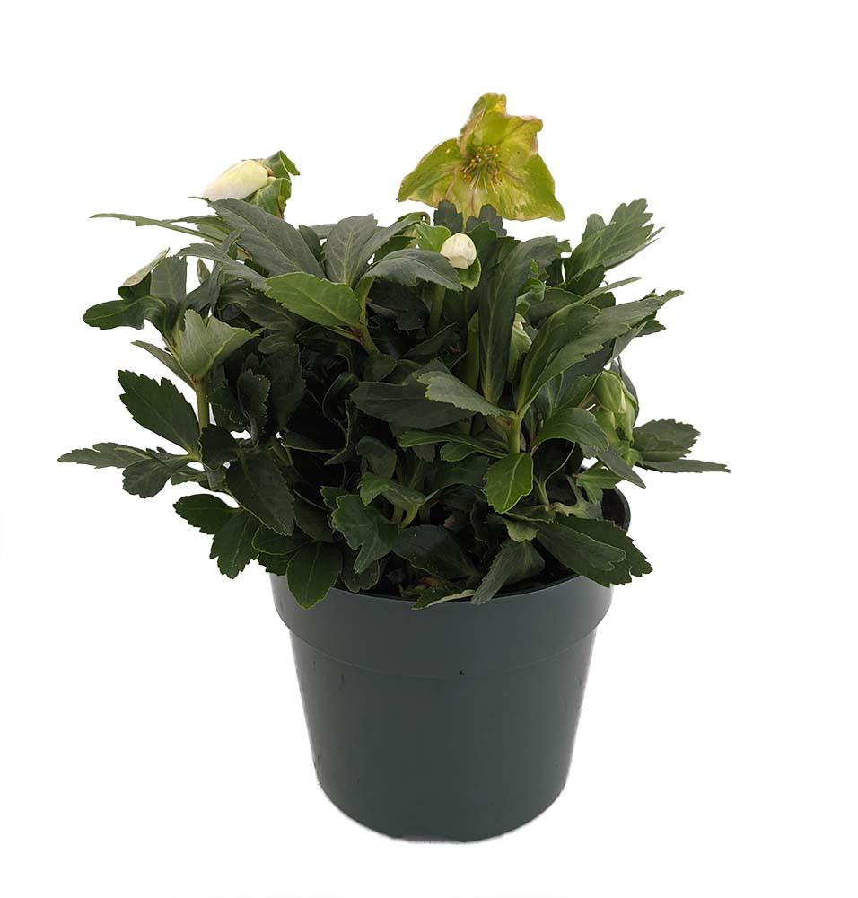"White Beauty Christmas/Lenten Rose - Helleborus - Shade - 6"" Pot"