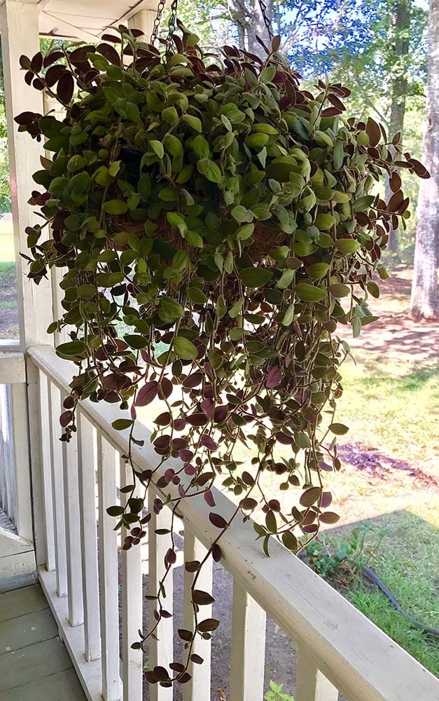 "Baby Bunny Bellies Wandering Jew/Tradescantia - 2.5"" Pot - Easy House Plant"