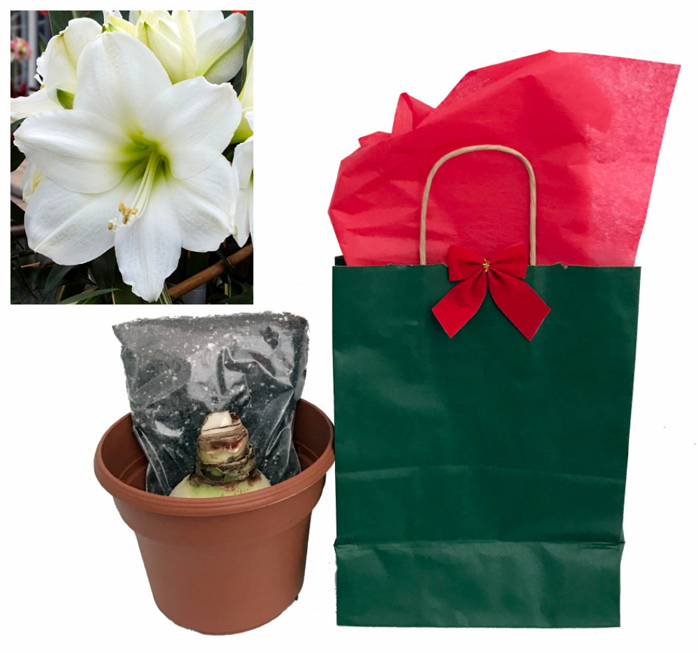 Athene Giant Dutch Amaryllis Gift Bag -Large Bulb, Pot/Saucer, Potting Soil
