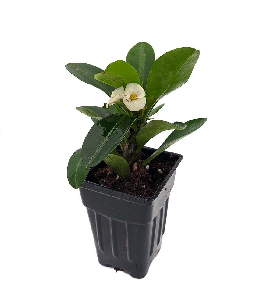 "Aphrodite Biblical Crown of Thorns Plant - Euphorbia - 2.5"" Pot"