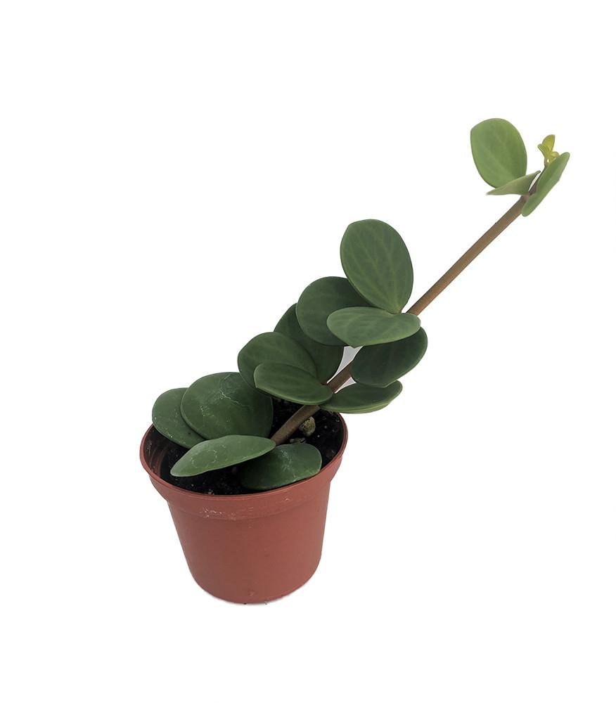 """Hope Peperomia - Easy to Grow Houseplant - 2.5"""" Pot"""