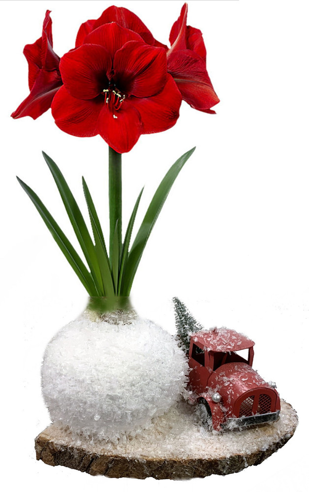 Truckin Waxed Amaryllis Bulb on Wood Plaque + Truck- Blooms Without Soil/Water