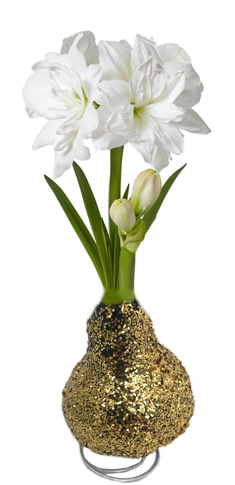 Glitter Dipped Gold Waxed Amaryllis Bulb - Immediate Shipping/Holiday Blooms