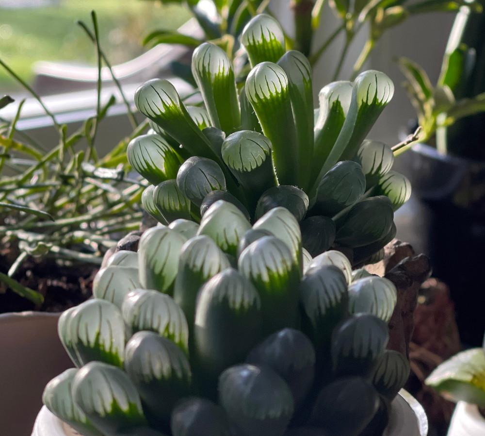 """Alien Eggs Succulent - Haworthia cooperi - 2"""" Pot - Collector's Series"""