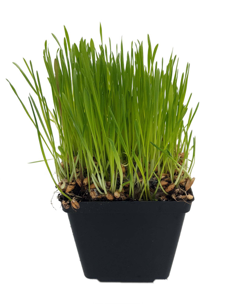 """Organic Catgrass - Herb For Your Feline - 4"""" Pot - Live Plant"""
