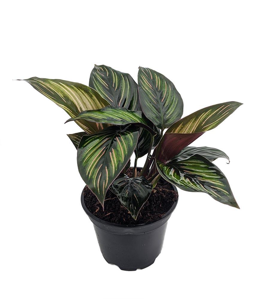 "Beauty Star Peacock Plant - Calathea - Easy House Plant - 4"" Pot"