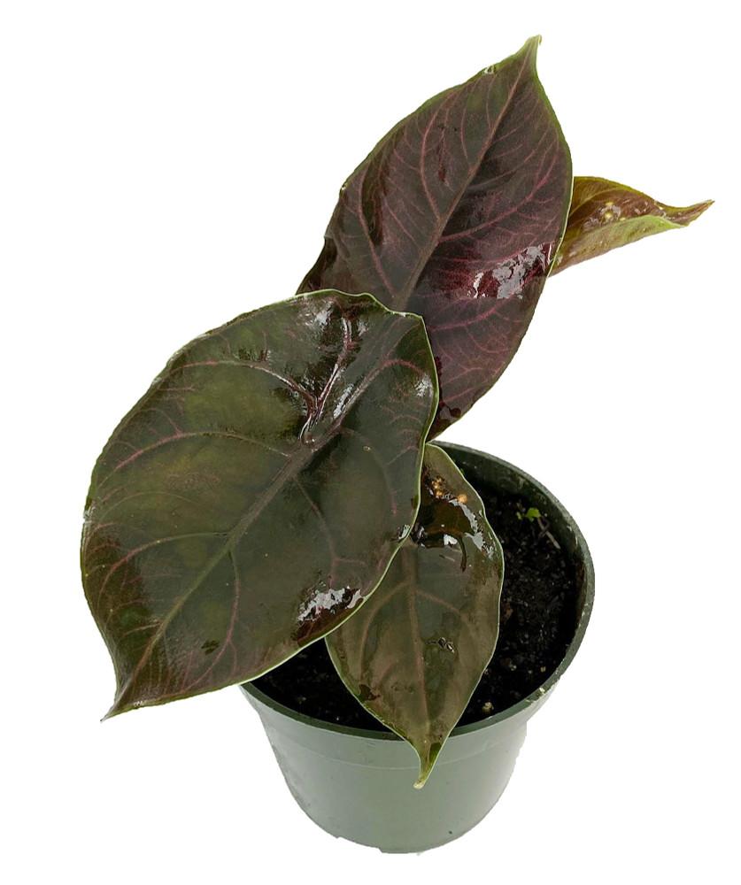 "Azlani African Mask Plant - Alocasia - Houseplant - 4"" Pot"