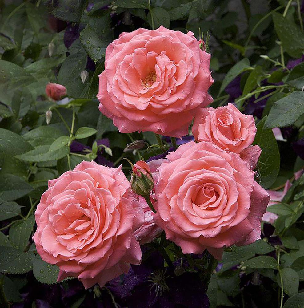 America Climbing Rose Bush - Bareroot