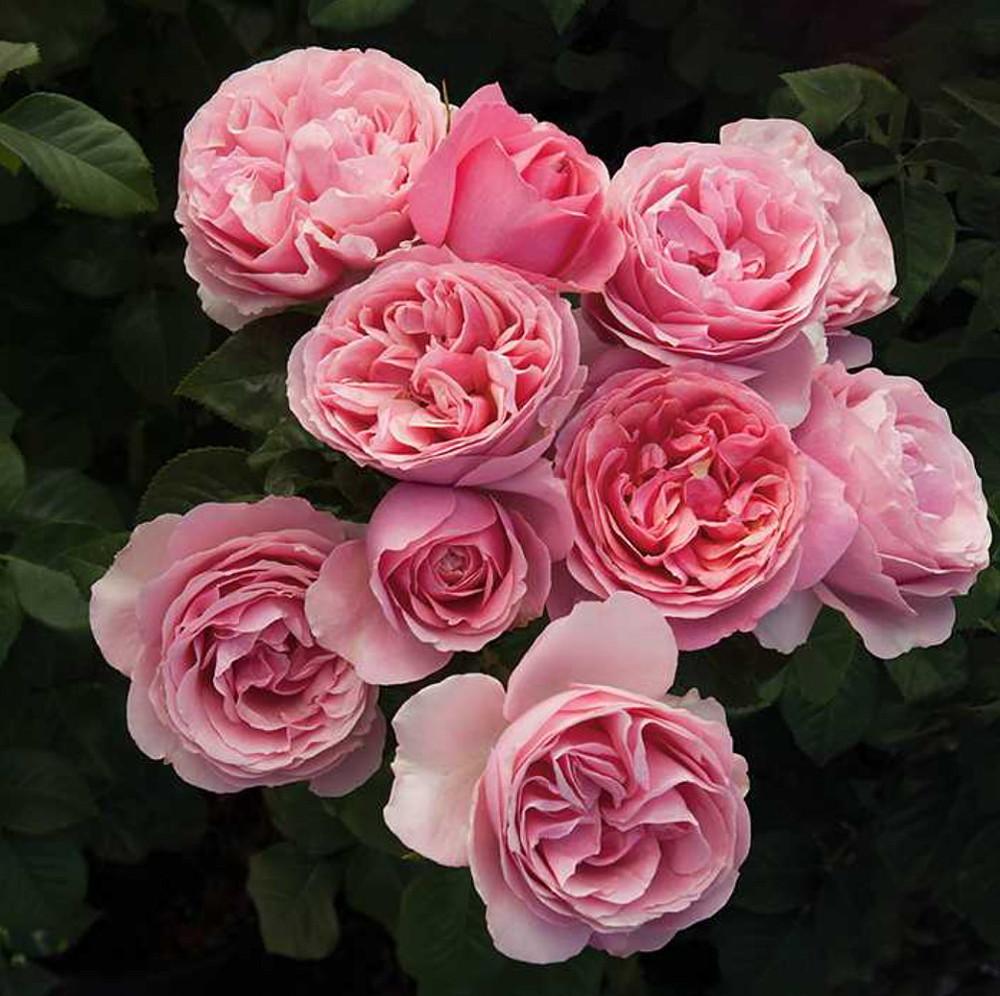 All Dressed Up® Grandiflora Rose Bush - Bareroot