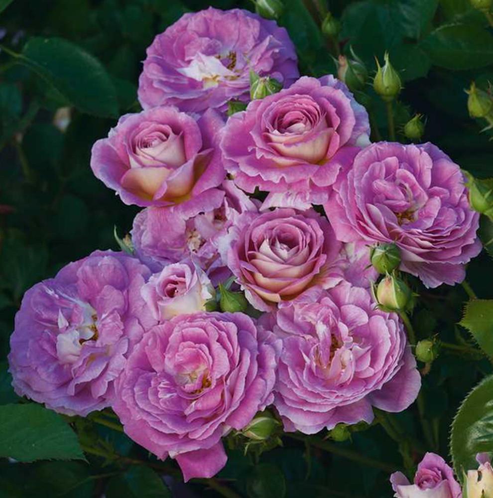 Arctic Blue® Floribunda Rose Bush - Bareroot