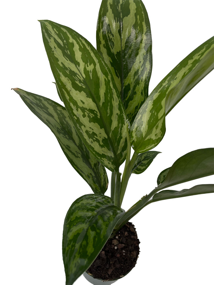 "Tigress Chinese Evergreen Plant - Aglaonema - Low Light - 4"" Pot"