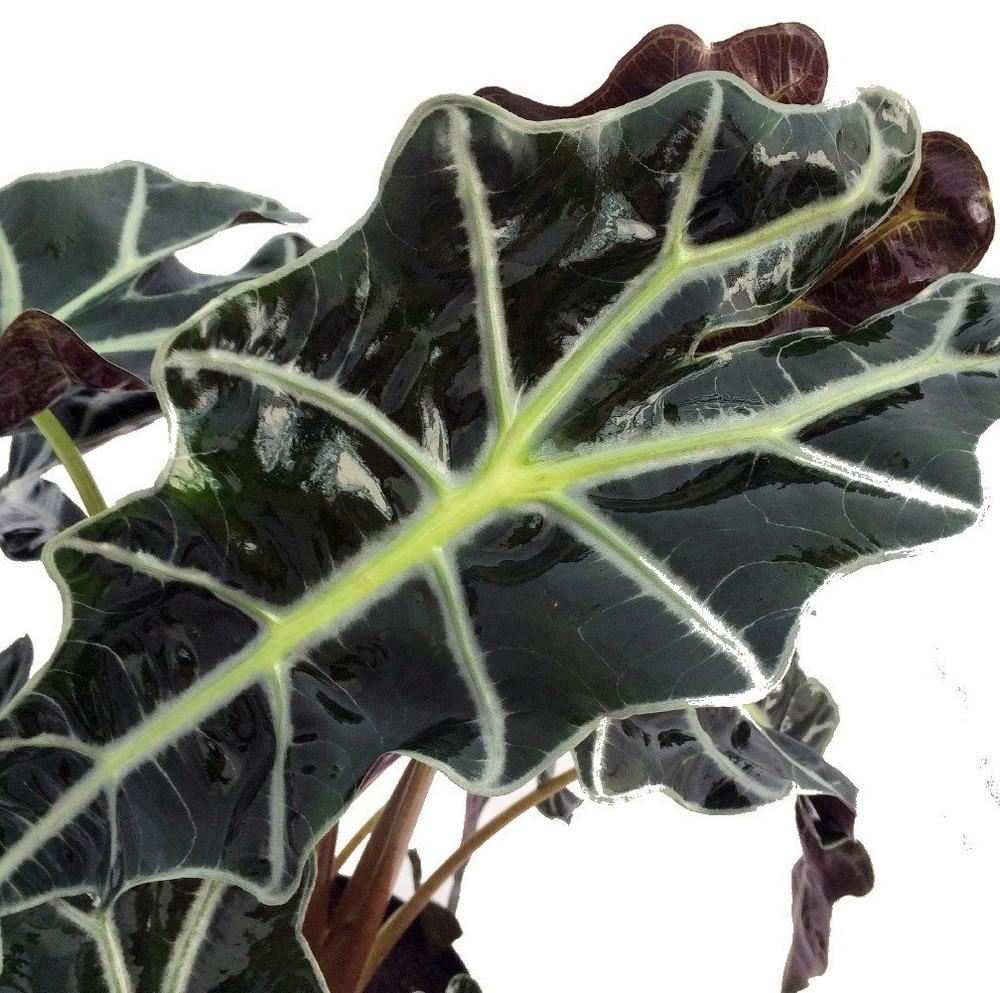 """Amazon Black Shield Plant - Alocasia Polly - Houseplant - 6"""" Pot"""