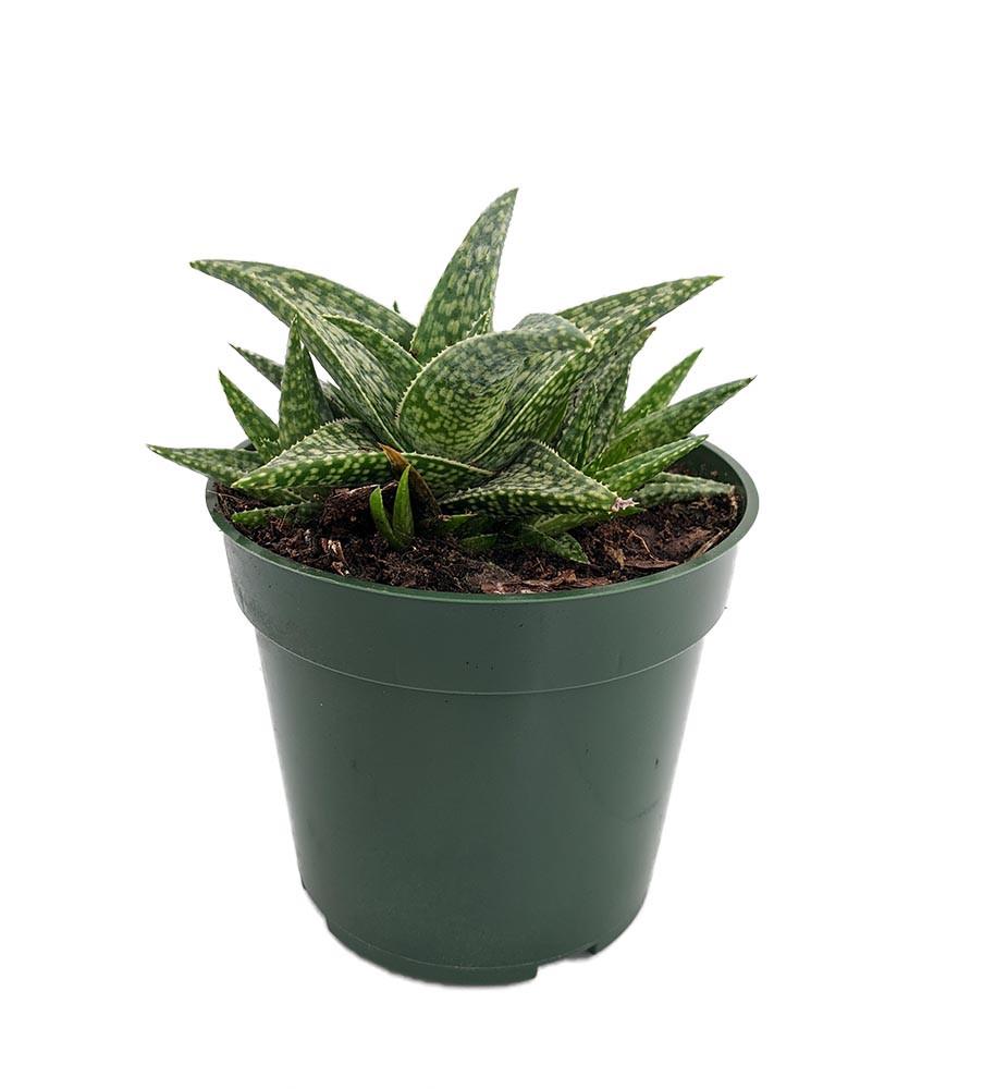 "White Fox Aloe Plant - 4"" Pot - Easy to Grow Succulent"