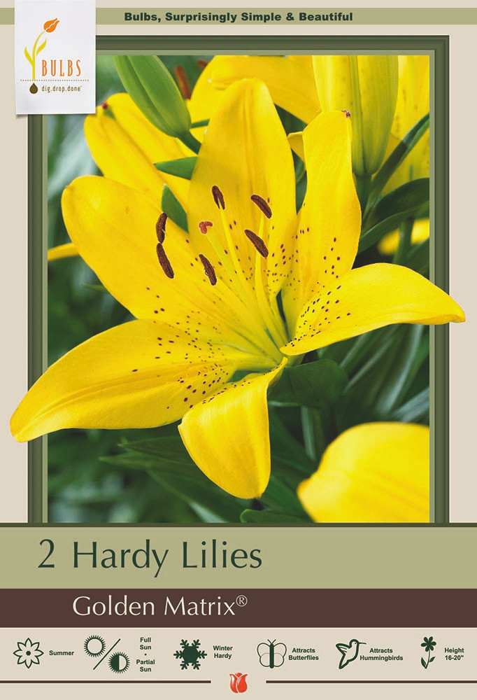 Golden Matrix Asiatic Lily - 2 Bulbs - Golden Yellow - 14/16cm