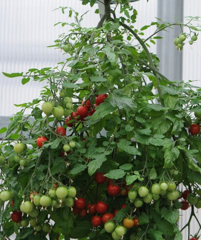 Topsy Tomato - 20 Seeds - Perfect for Hanging - Bred for the Topsy Turvy Planter