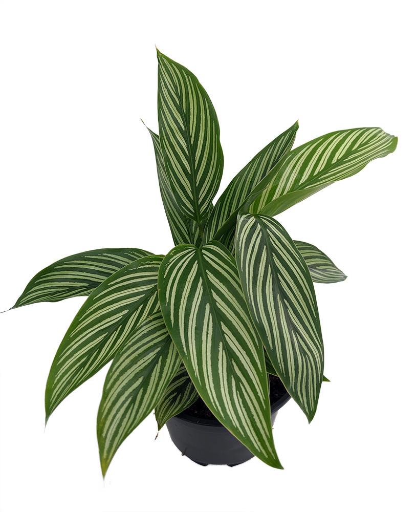 "Uncommon Vittata Peacock Plant - Calathea - 4"" Pot - Collector's Series"