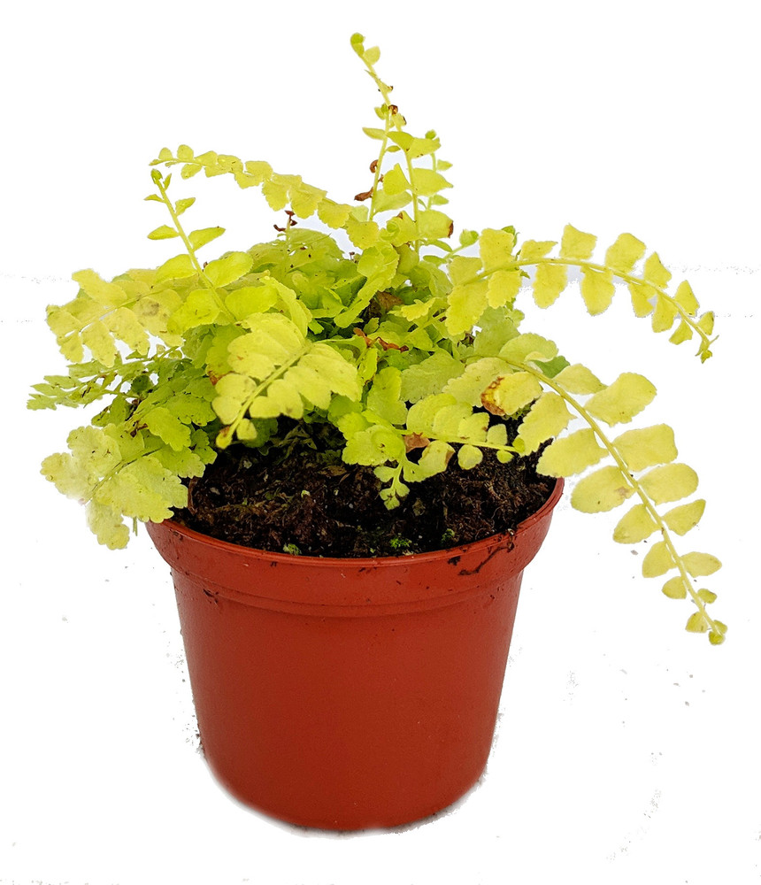 "Golden Glow Boston Fern - Nephrolepis - Lemon Yellow Color - 2.5"" Pot"