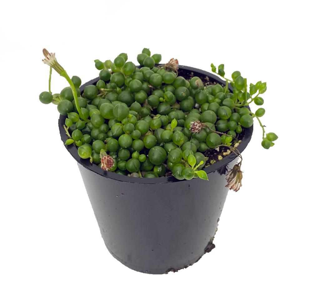 "Hirt's String of Pearls - Senecio rowleyanus - Easy to Grow - 5"" Pot"