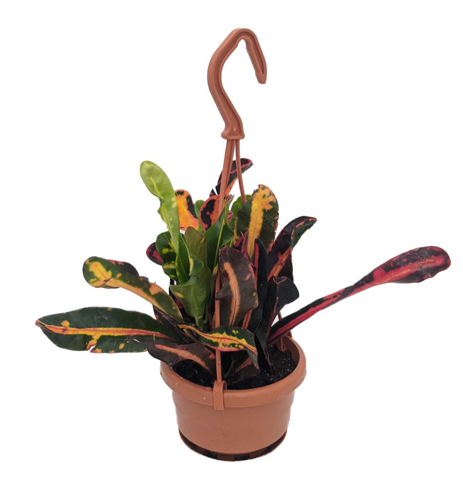 "Mammy Croton - 4"" Mini Hanging Pot - Colorful House Plant"