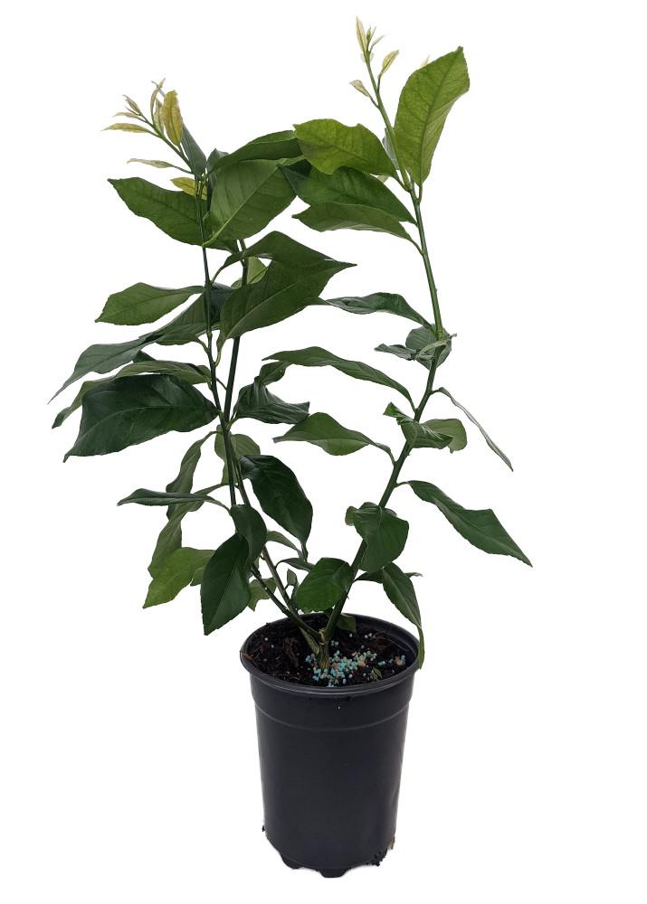 "Eureka Lemon Bush Form - 5"" Pot - No Shipping to Tx, Fl, Az, Ca, La, Hi"