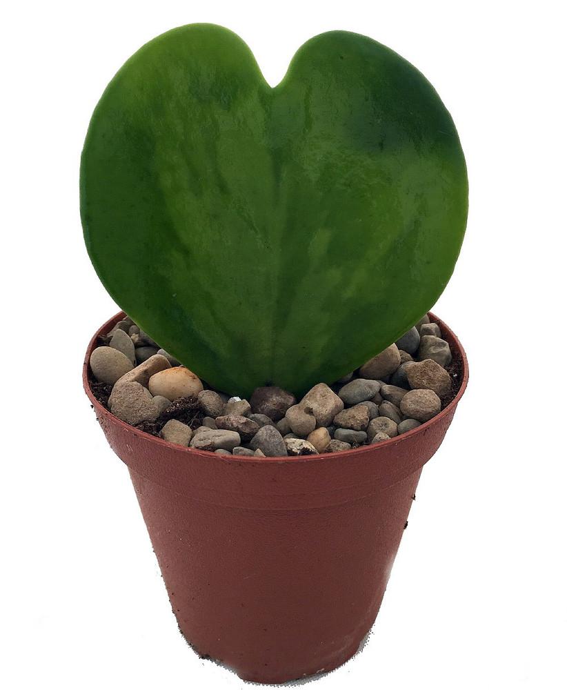 """Amazing Sweetheart Waxplant - Hoya kerri - Easy to Grow House Plant - 2"""" Pot"""