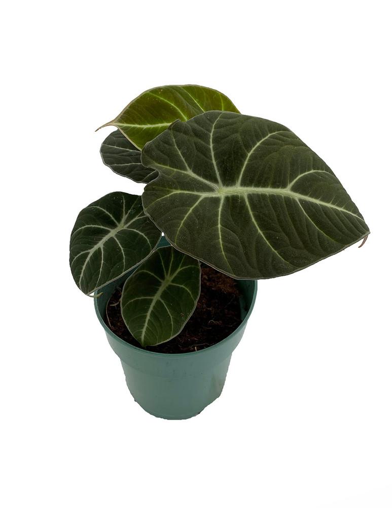 "Black Velvet Dwarf Alocasia Plant - Houseplant - 4"" Pot"