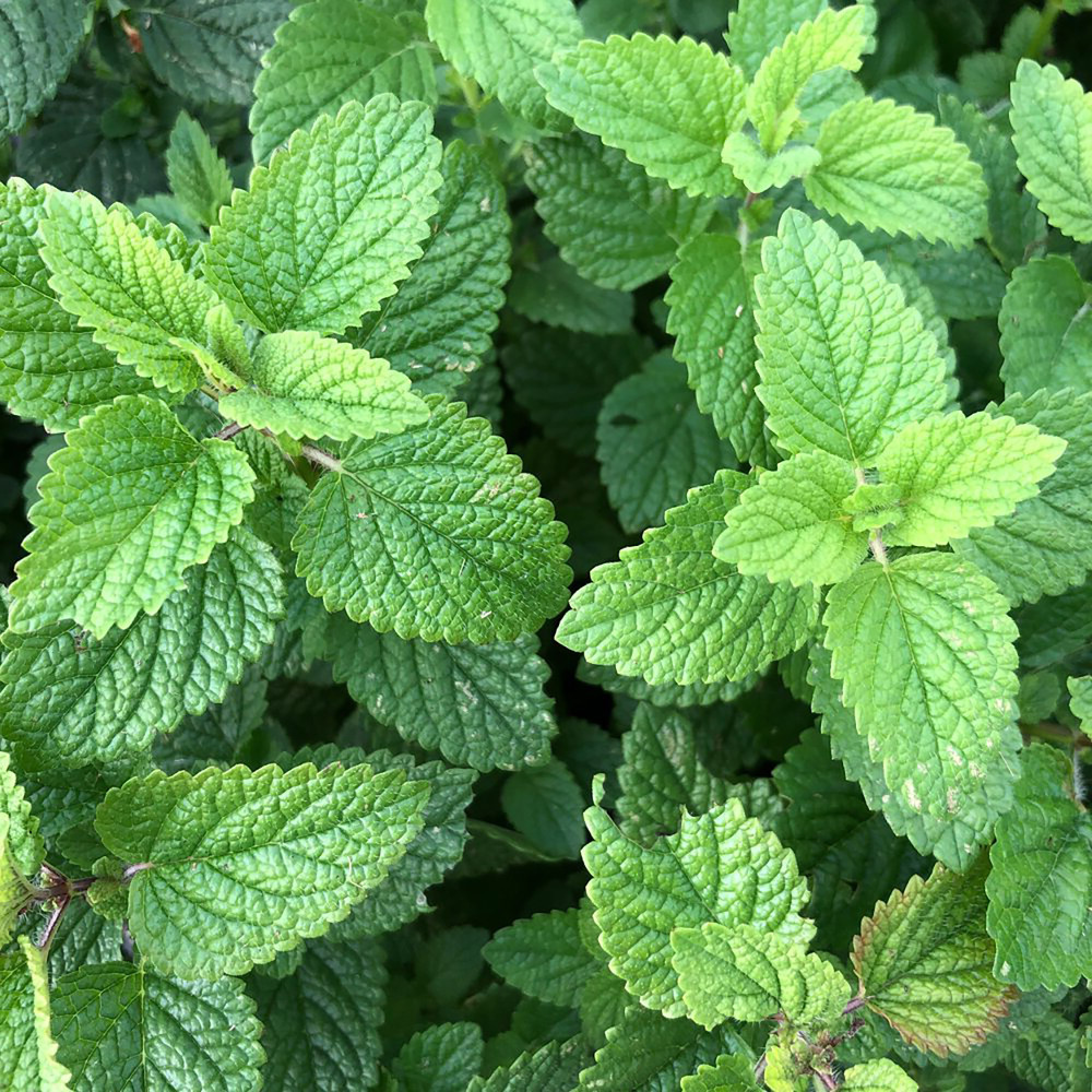 "Lemon Balm Perennial - Melissa officinalis - 2.5"" Pot"