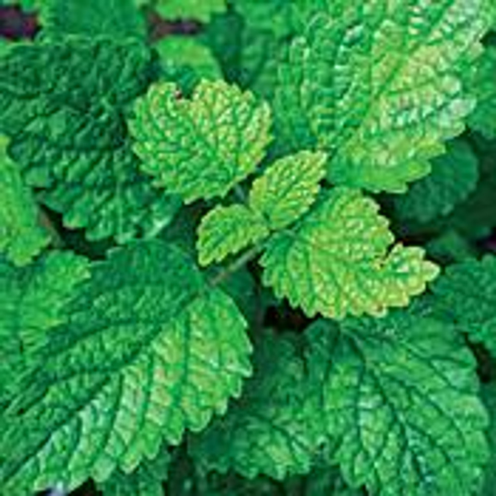 "Lemon Balm Perennial - Melissa officinalis - 4 Plants - 2.5"" Pots"