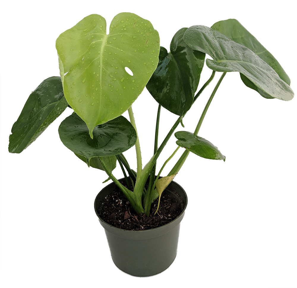 """Hirt's® Split Leaf Philodendron 4"""" Pot - Monstera - Edible Fruit Pineapple Taste"""