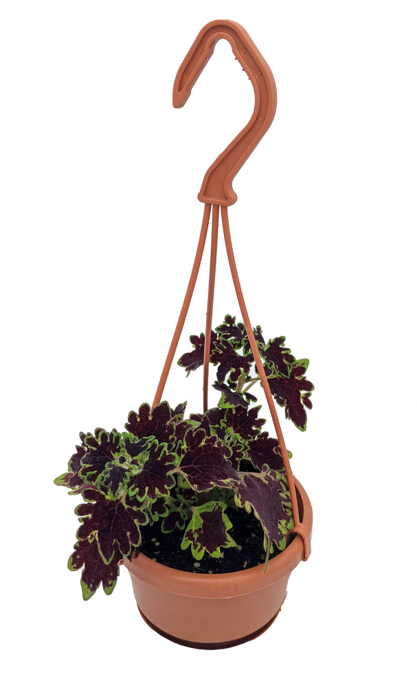 """Inky Fingers Coleus - 4"""" Mini Hanging Basket - Colorful House Plant"""