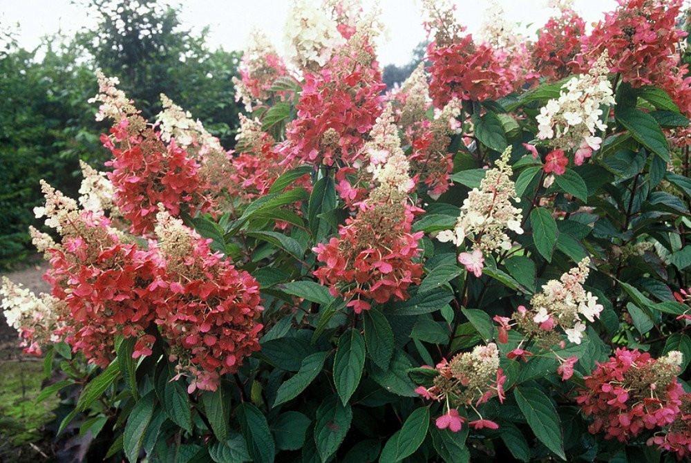 "Pinky Winky ® Hydrangea Bush - Potted - Proven Winners - 4"" Pot"