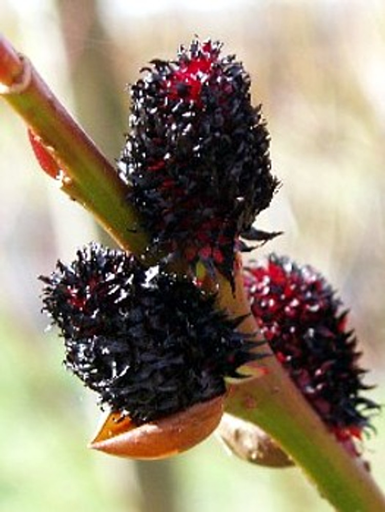 "Rare Black Cat Pussy Willow - Salix gracilistyla Melanostachy - 4"" Pot"