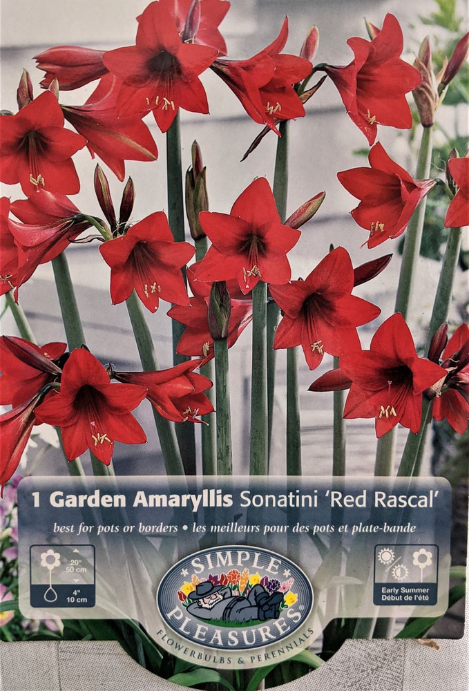 Red Rascal Sonatini Amaryllis Bulb - 14/16 cm Bulb