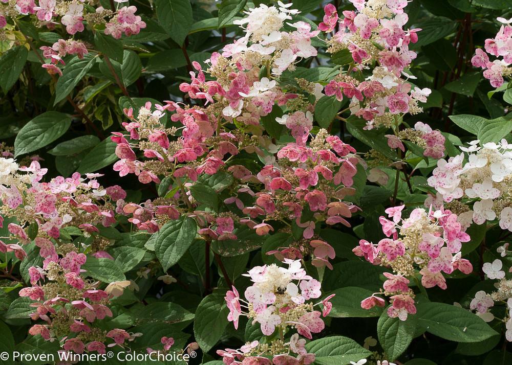Quick Fire ®  Hydrangea paniculata - Early Bloomer - Hardy - Proven Winners