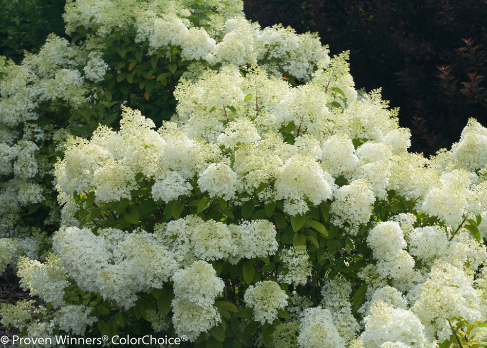 """BoBo®  Dwarf Hydrangea Bush - Blooms all Summer - Proven Winners - 4"""" Pot"""