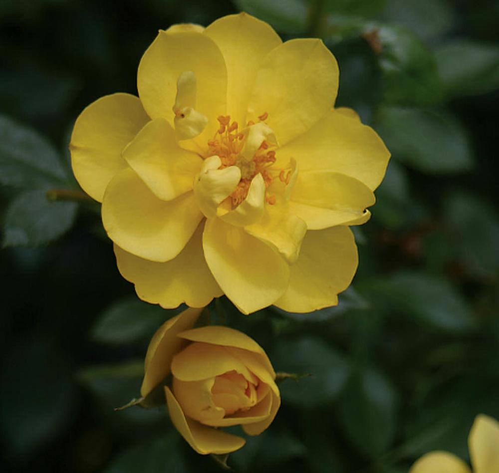"OSO EASY®  Lemon Zest Rose - Rebloomer- Proven Winners- 4"" Pot"