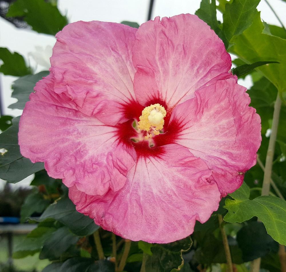"Ruffled Satin® Hibiscus - Rose of Sharon - 4"" Pot - Proven Winner"