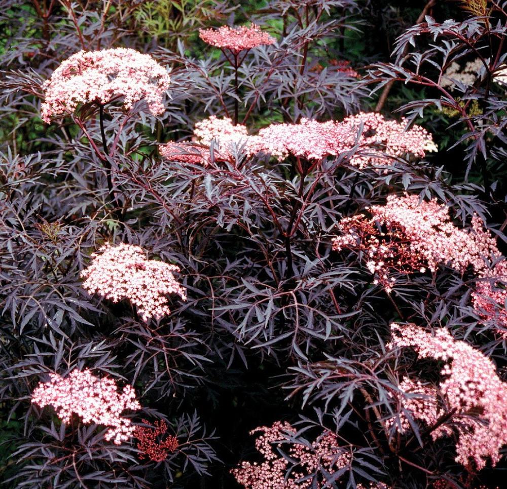 "Black Lace™ Elderberry - Sambucus - NEW - HARDY - Proven Winners - 4"" Pot"