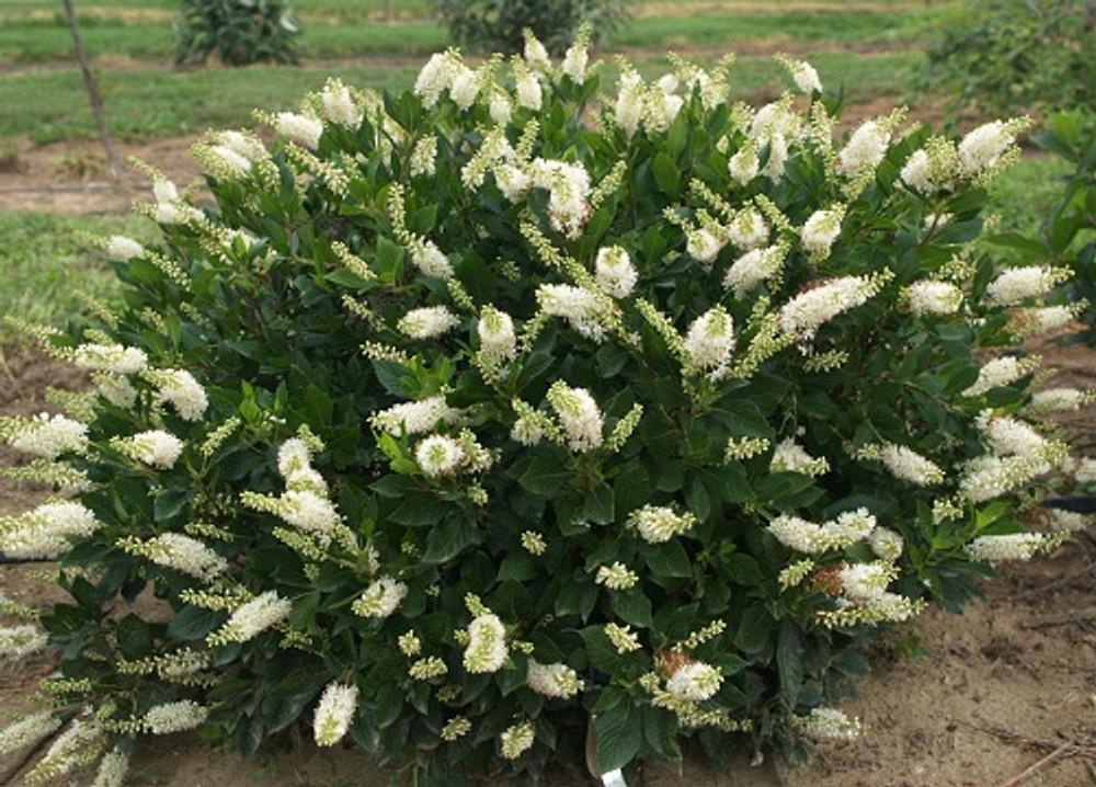 "Hummingbird Summersweet - 4"" pot - Clethra alnifolia"