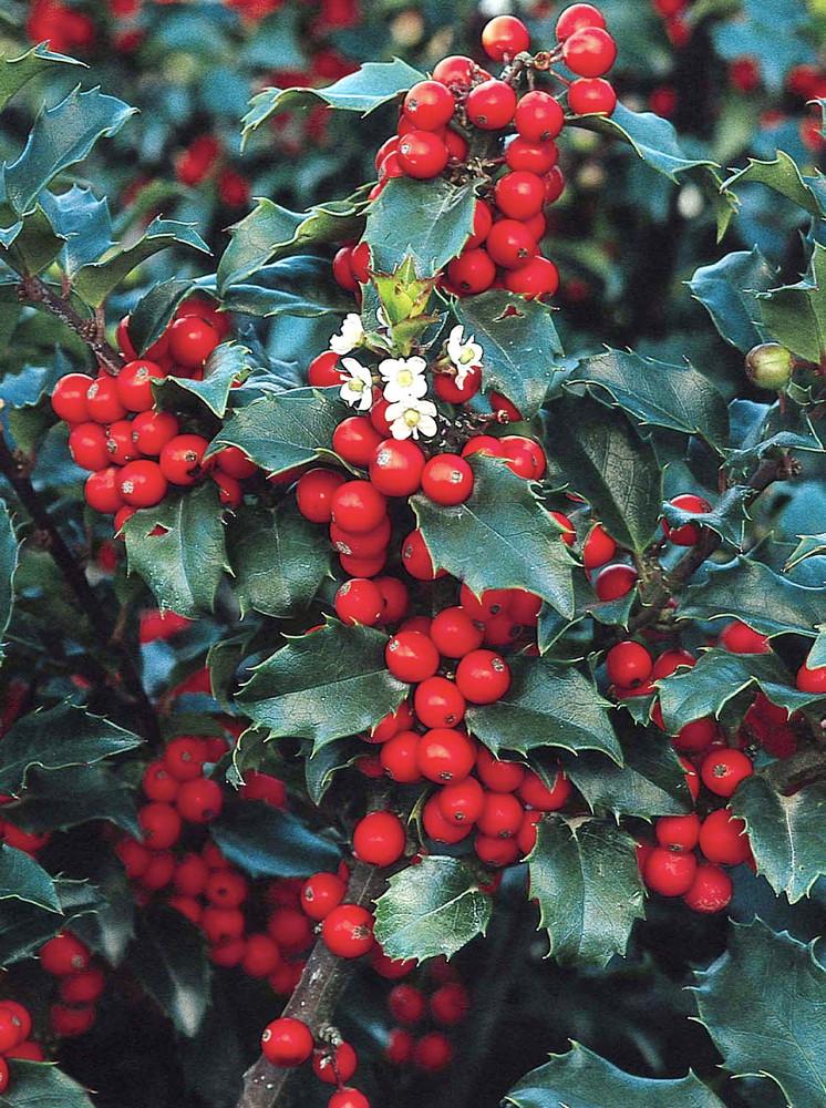 "Blue Princess Holly - Ilex - Hardy Broadleaf Evergreen - 4"" Pot"