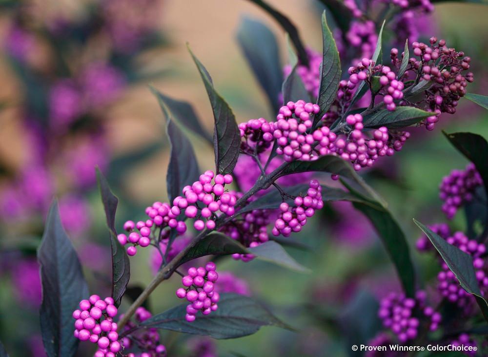 "Pearl Glam ™ Beautyberry - 4"" pot - Callicarpa - Proven Winners"