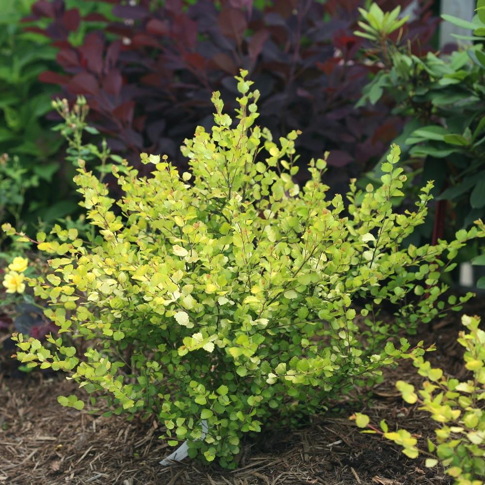 "CESKY GOLD® - Golden Treasure Dwarf Birch - 4"" Pot - Betula - Proven Winners"