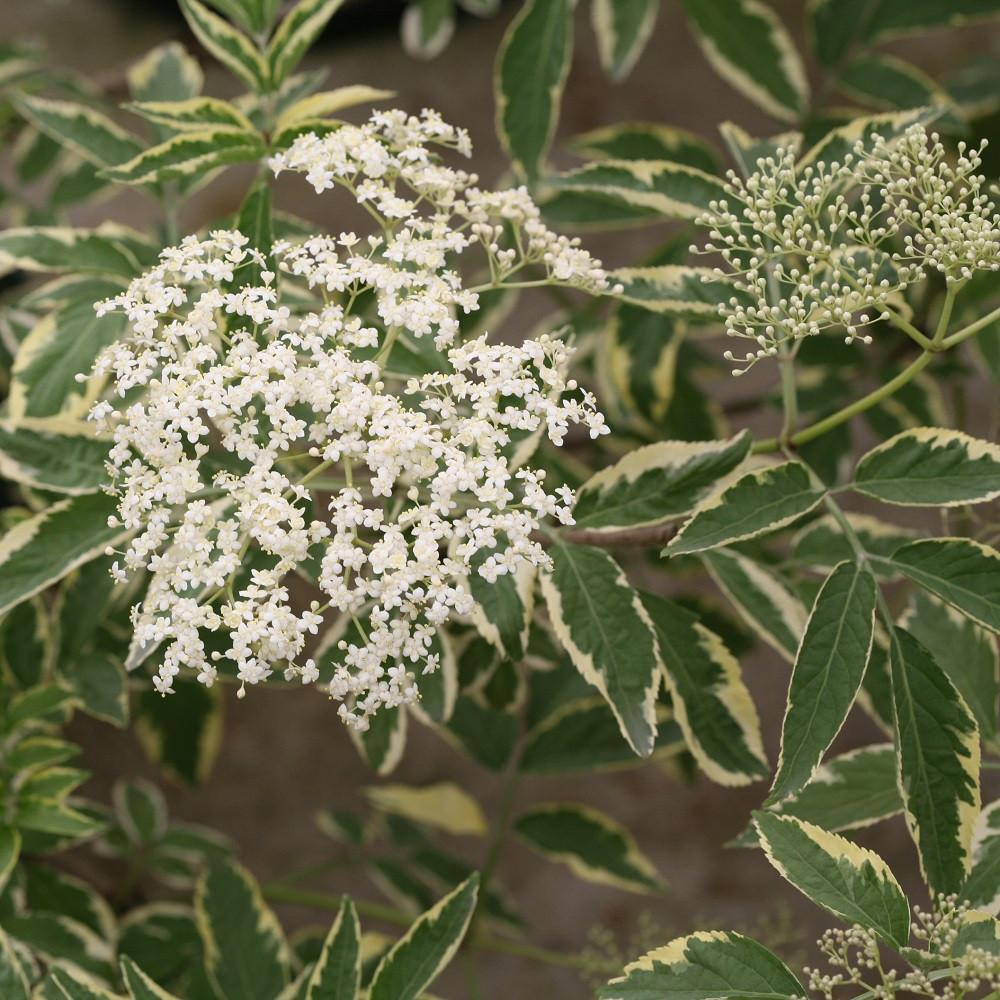 "INSTANT KARMA® Elderberry - 4"" pot - Sambucus - Proven Winners"