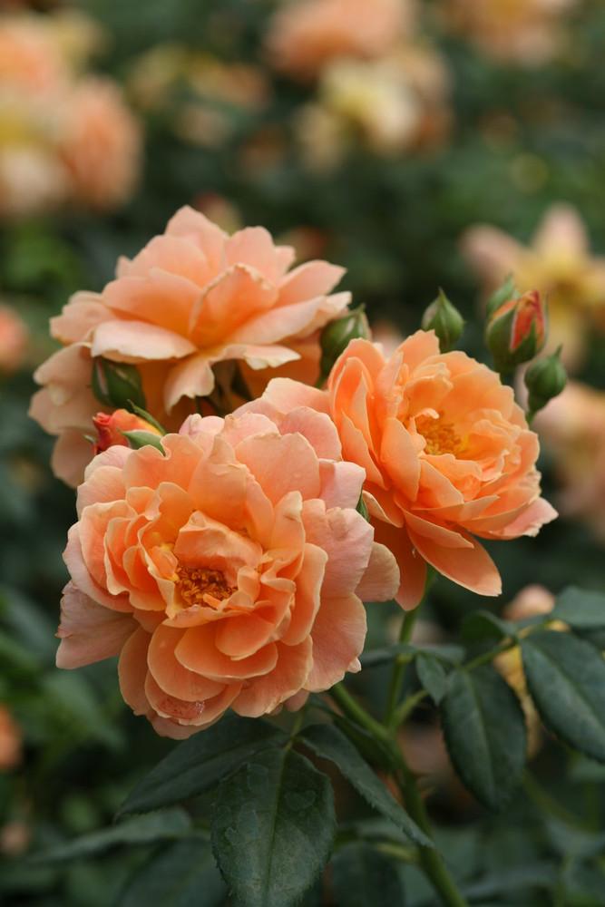 "At Last Rose Bush - 4"" Pot - Fragrant - Proven Winners"