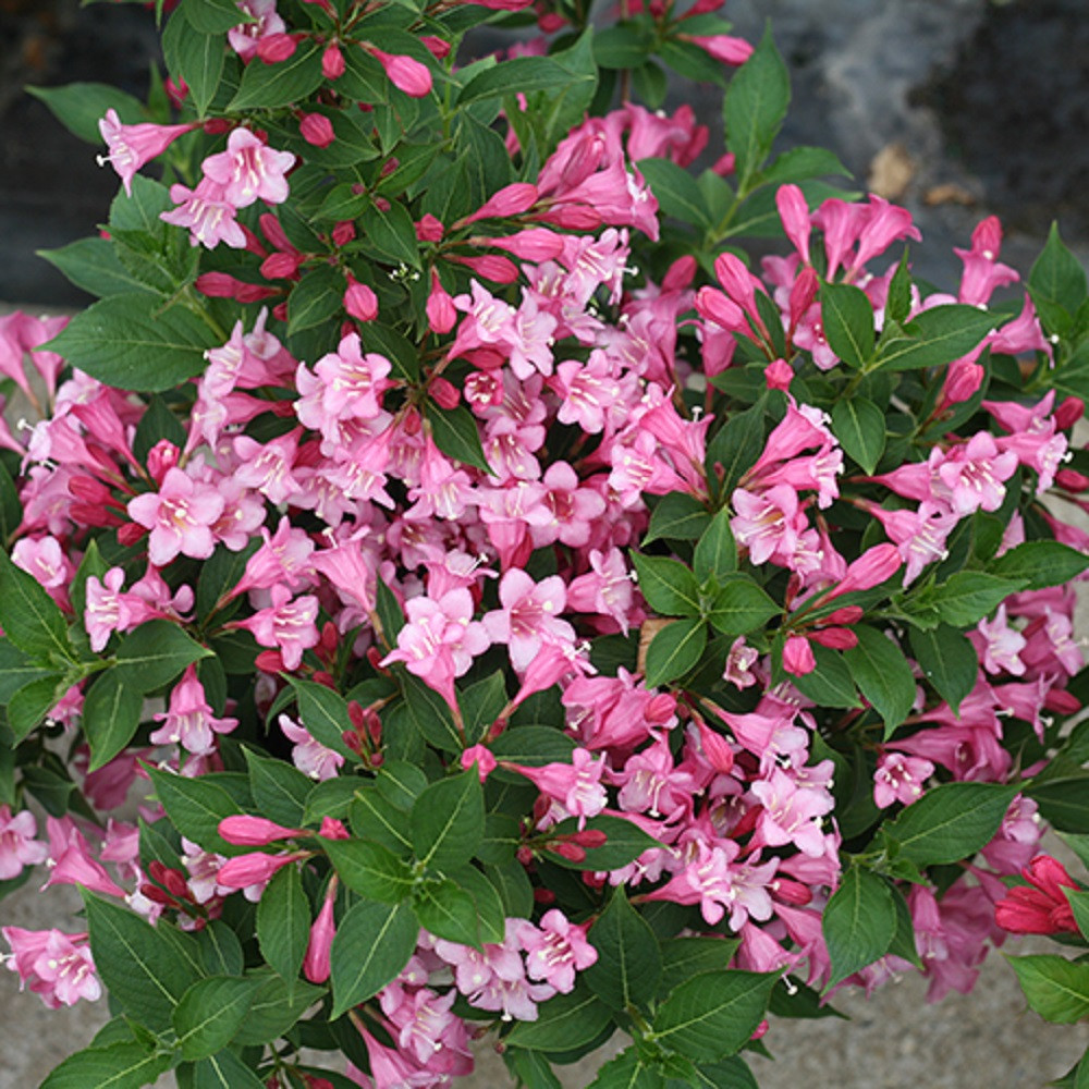 "Czechmark TWOPINK ™ Weigela - 4"" pot - Proven Winners"