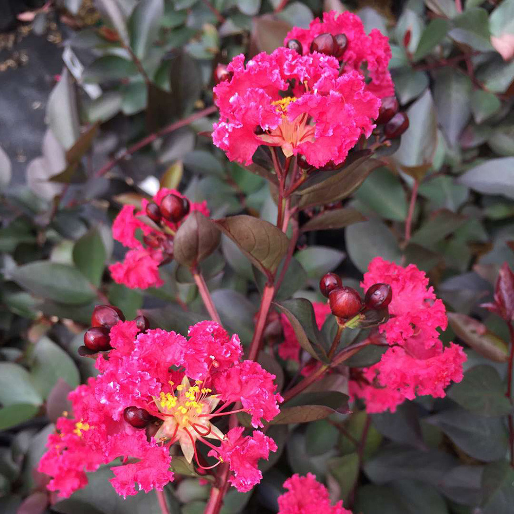 """Double Dynamite Crape Myrtle - 4"""" Pot - Lagerstroemia indica - Cherry Red Blooms"""