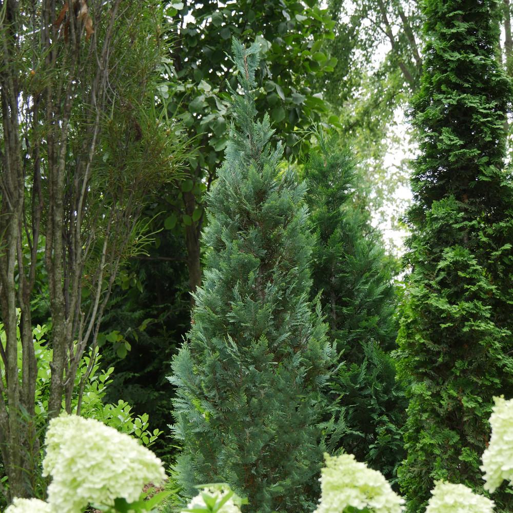 "PINPOINT® Blue False Cypress - 4"" pot - Chamaecyparis"