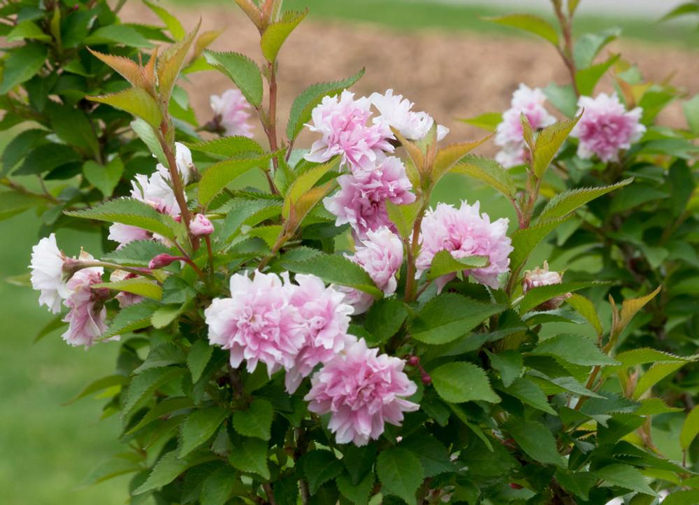 """Zuzu Ornamental Cherry - Prunus incisa - Proven Winners - 4"""" Pot"""