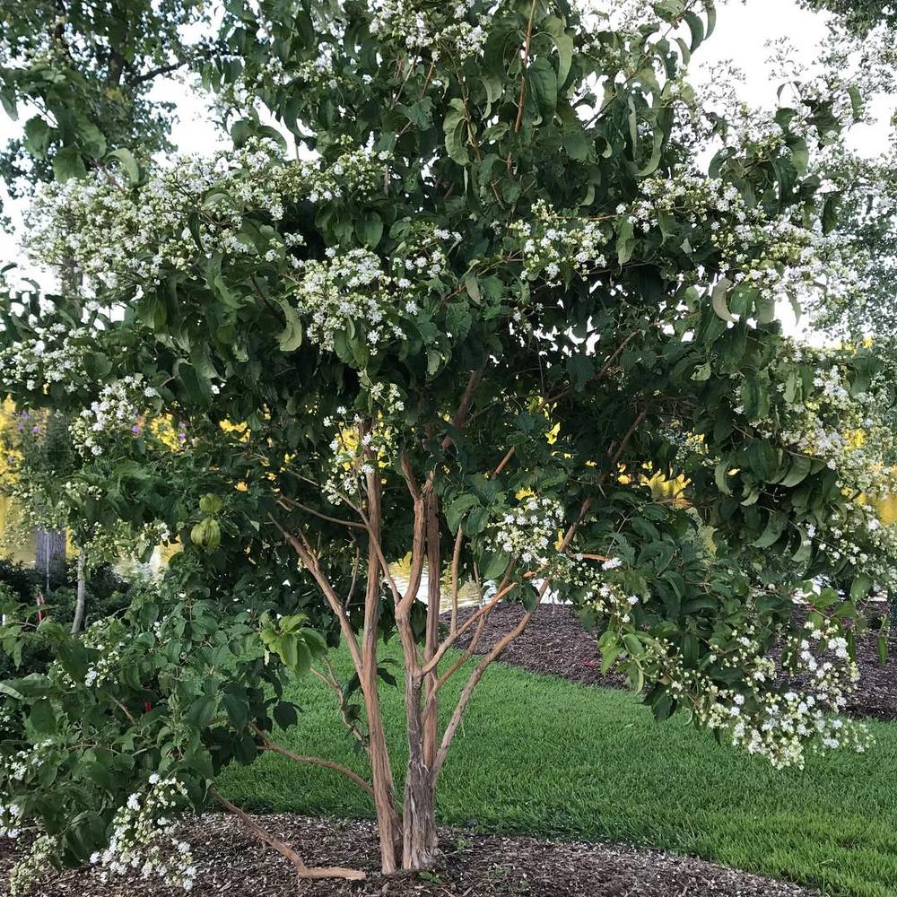 "Temple of Bloom® - Seven-Son Flower - 4"" pot - Heptacodium - Proven Winners"