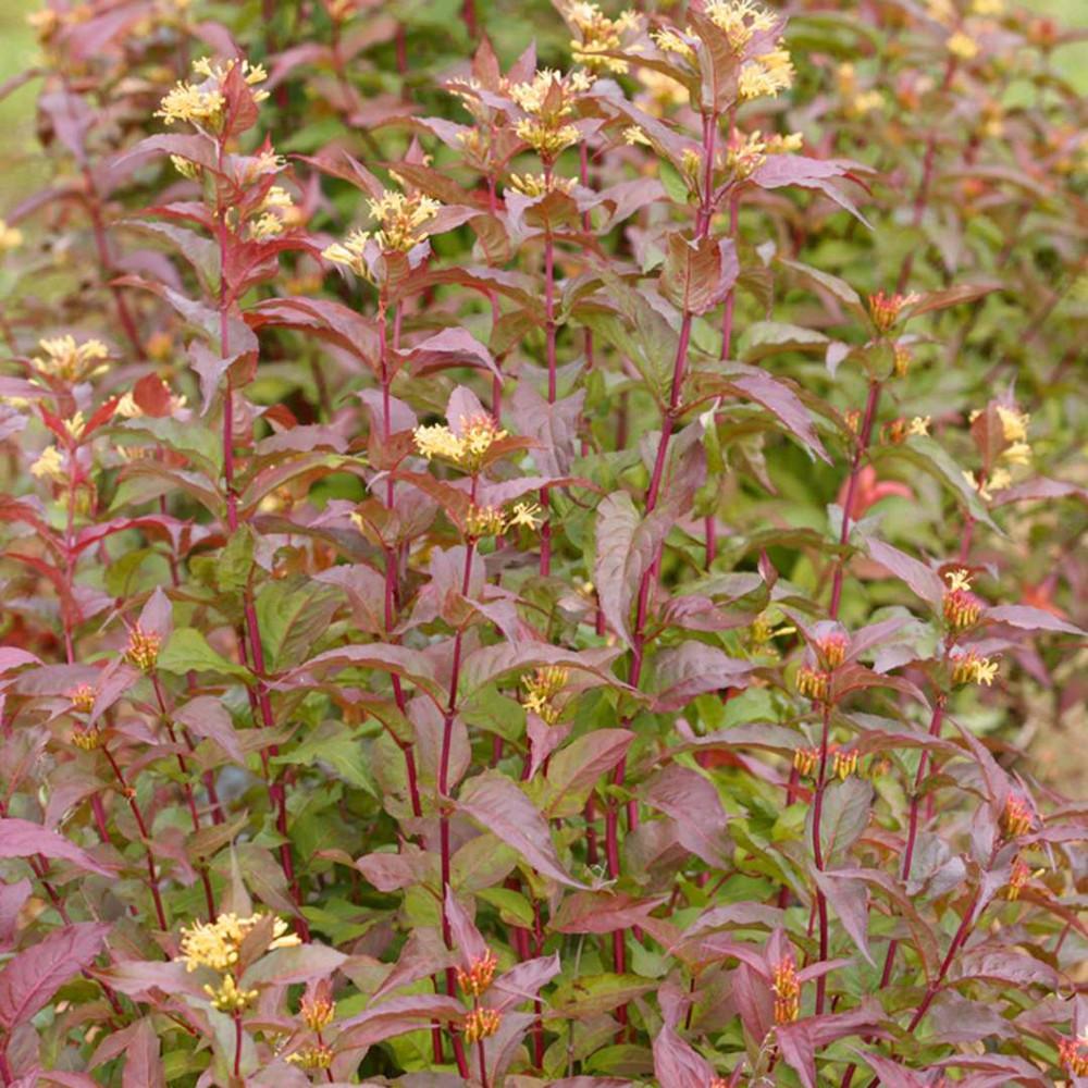 "Kodiak™ Red Bush Honeysuckle - 4"" pot - Diervilla - Proven Winners"